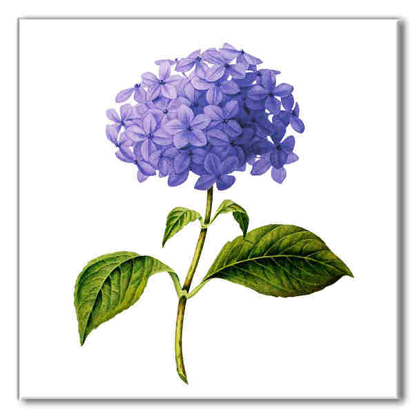Hydrangea tile, blue hydrangea flower with green leaves on a white square background