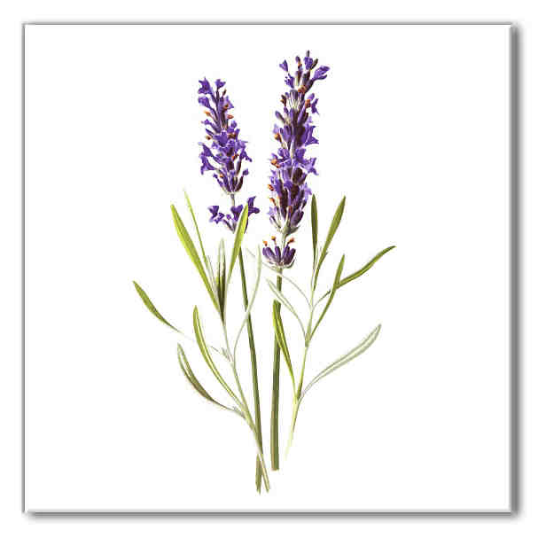 Floral design ceramic wall tile, purple lavender flowers on a white square background, Product Code B6