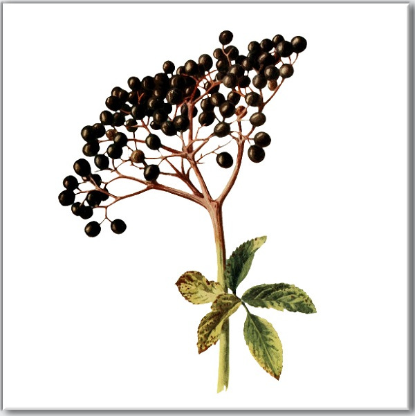 Elderberries on a white background ceramic wall tile, made by Floral Tiles Ltd
