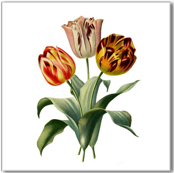 Vintage style wall tile, tulip flowers on a white square background