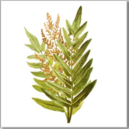Ceramic wall tile with Royal Fern plant design on a white square background
