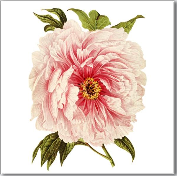 Pink Peony Flower Ceramic Wall Tile