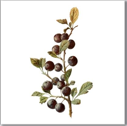 Sloe Berries Ceramic Wall Tile