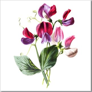 Sweetpea Flower Ceramic Wall Tile