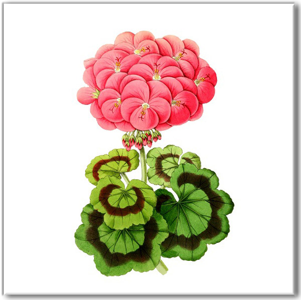 Pink Tiles - Vintage Geranium Flower Wall Tile