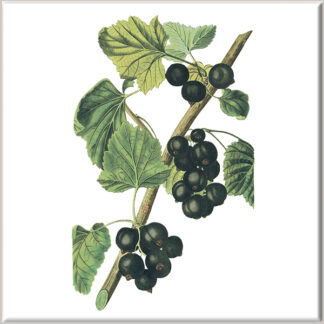Blackcurrant Fruit Ceramic Wall Tile