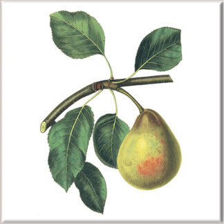 Comice Pear Fruit Ceramic Wall Tile