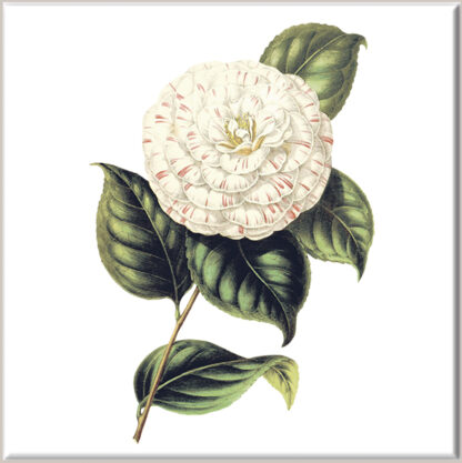 Cream Variegated Dahlia Flower Ceramic Wall Tile
