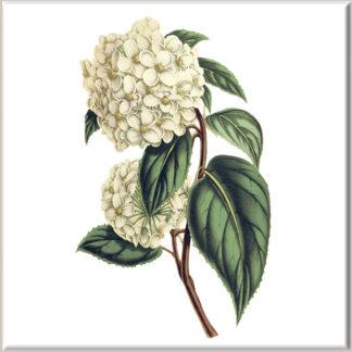 Cream Viburnum Flower Ceramic Wall Tile