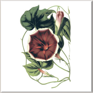 Red Morning Glory Flower Ceramic Wall Tile